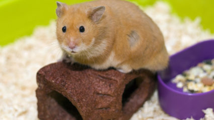 Cure for sick hamster is new hamster, vet tells child